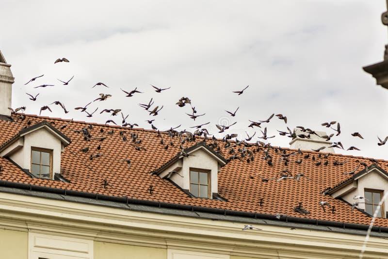 Piccioni che sorvolano il vecchio tetto del mattone, di una costruzione nel vecchio rimorchio immagini stock