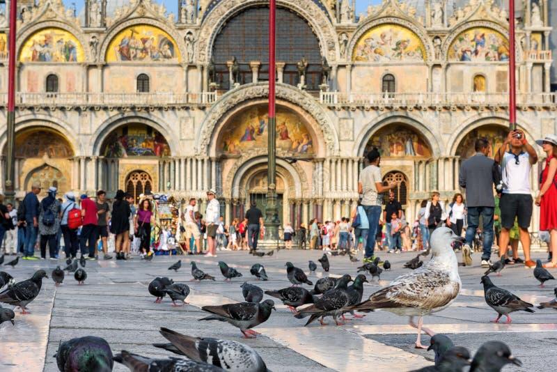 Piccioni e gabbiani nella piazza San Marco, Venezia immagini stock