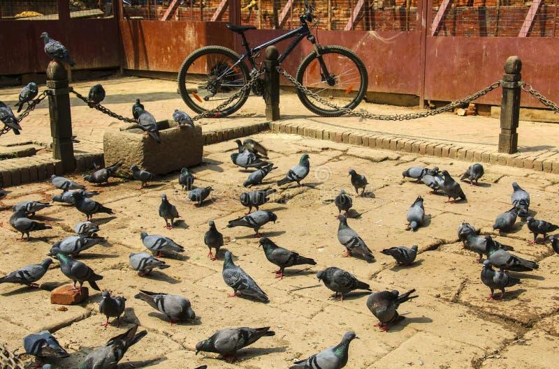 Piccioni e una bicicletta, quadrato di Kathmandu, Nepal immagine stock libera da diritti