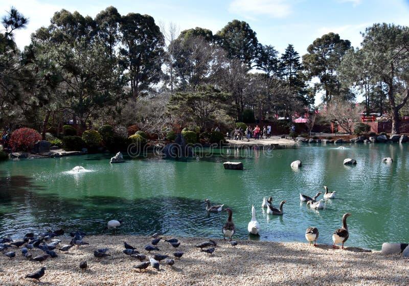 Piccioni ed anatre nel lago in giardino giapponese castano dorato fotografia stock