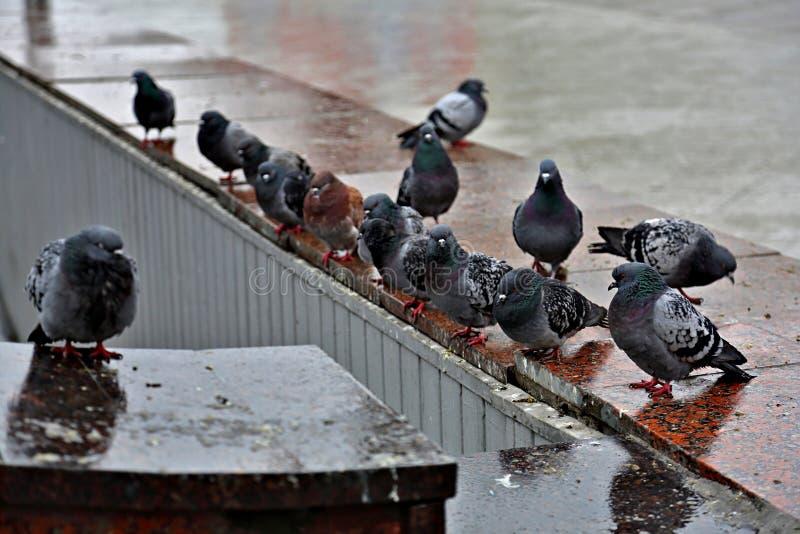 Piccioni grigi urbani fotografia stock libera da diritti