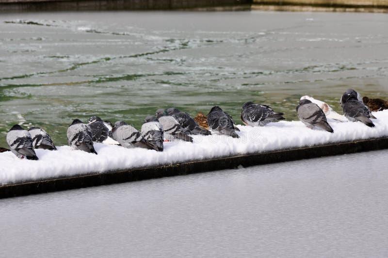 Piccioni nel paesaggio nevoso, Vitoria, Spagna immagini stock
