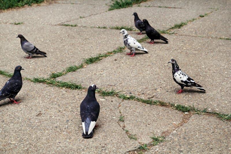 Piccioni su pavimentazione nello stormo del quadrato/A del centro urbano degli uccelli, piccioni sulla via della città, sul calce immagine stock