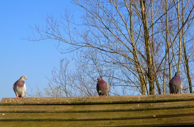 Piccioni su un tetto di legno fotografia stock libera da diritti