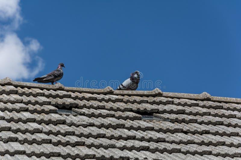 Piccioni sul tetto fotografia stock