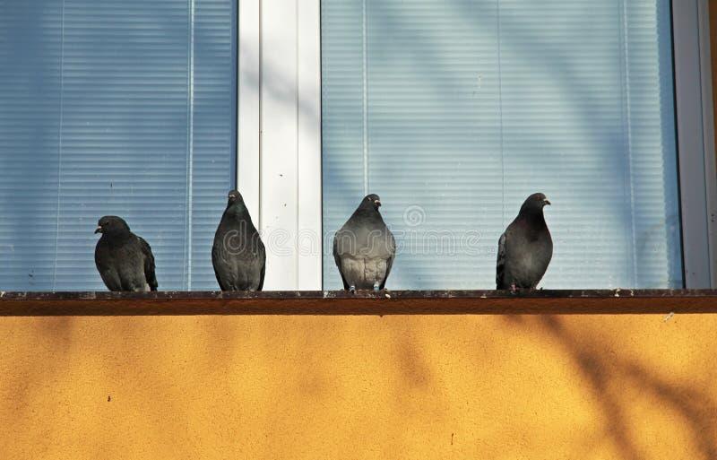 Piccioni sulla finestra fotografia stock