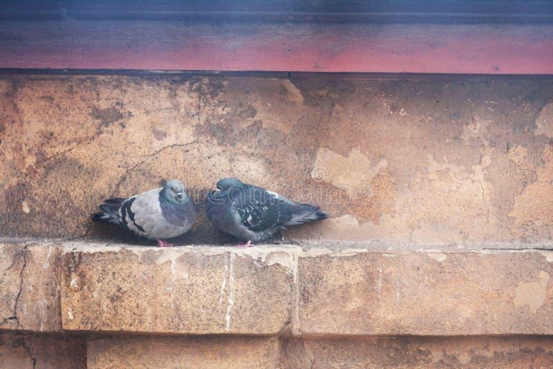 Piccioni, uccelli urbani fotografia stock libera da diritti