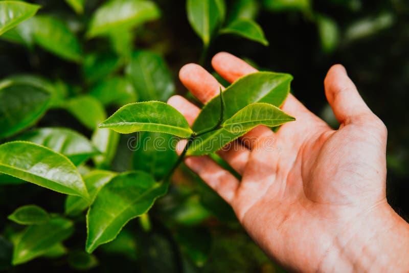 Picco alto vicino delle foglie di tè a disposizione sull'azienda agricola del campo della piantagione di tè colpo alla mattina Ve immagine stock libera da diritti