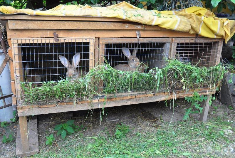 Piccola agricoltura del coniglio Conigli d'alimentazione Gabbia del coniglio immagine stock libera da diritti