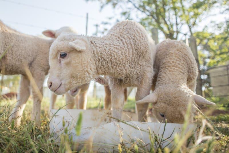 Piccola alimentazione degli agnelli immagine stock