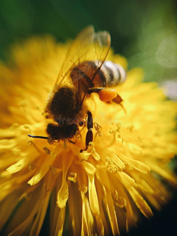 piccola ape sul lavoro immagini stock libere da diritti