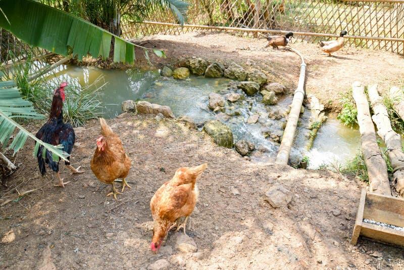 Piccola avicoltura immagine stock