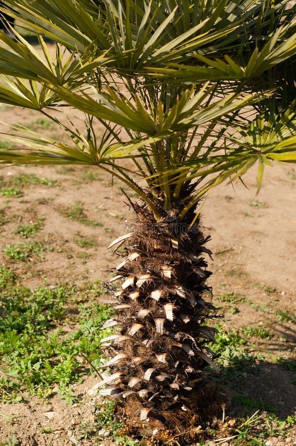 Piccola breve palma, concetto tropicale della spiaggia fotografia stock libera da diritti