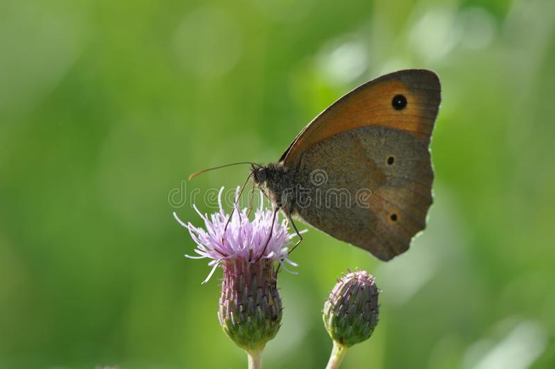 Piccola brughiera della farfalla fotografia stock