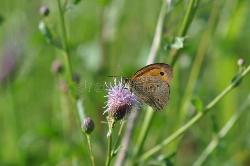 Piccola brughiera della farfalla immagini stock