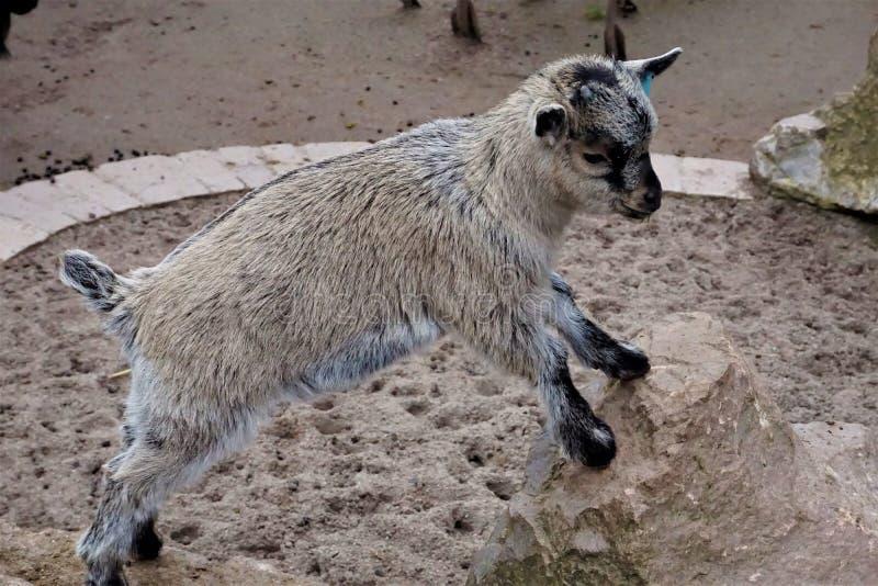 Piccola capra del bambino che sta sulla roccia immagine stock libera da diritti