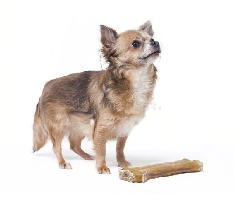 Piccola chihuahua con il grande osso fotografia stock