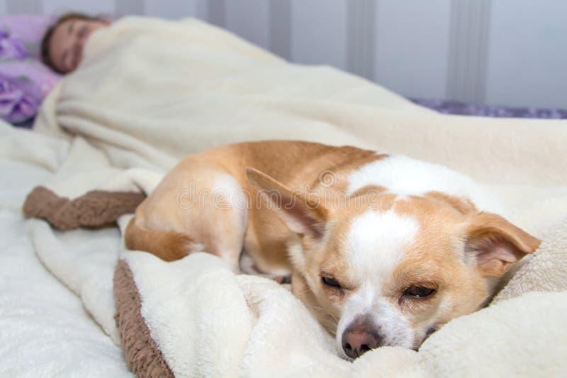 Piccola chihuahua del cane che dorme a letto immagini stock libere da diritti