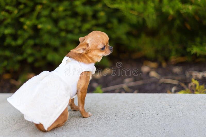 Piccola chihuahua del cane in vestito bianco che si siede vicino agli alberi nel parco fotografie stock libere da diritti