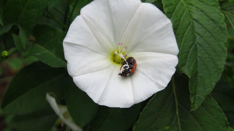 Piccola coccinella caduta su un bello fiore bianco fotografie stock libere da diritti