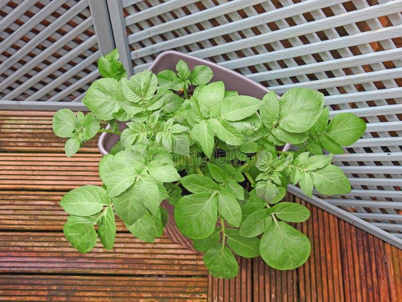 Piccola crescita di raccolto del giardino immagini stock
