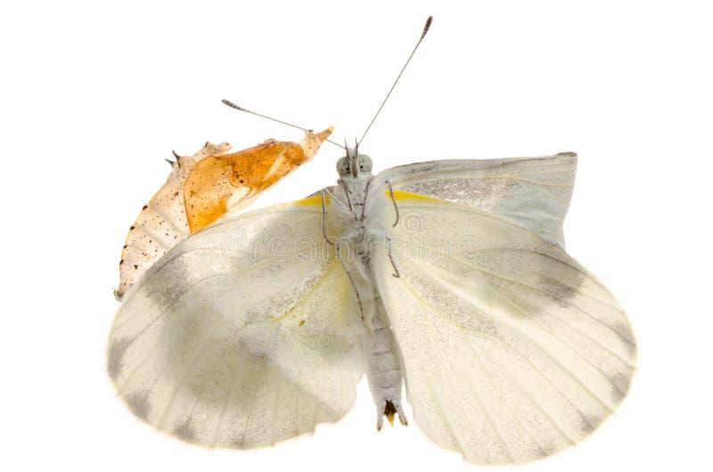 Piccola emersione bianca della farfalla dell'insetto immagine stock