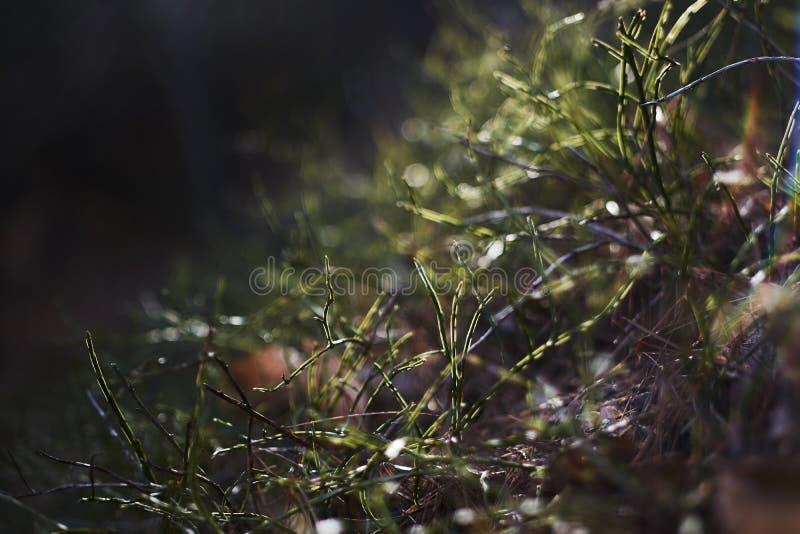Piccola erba con rugiada in una foresta fotografia stock libera da diritti