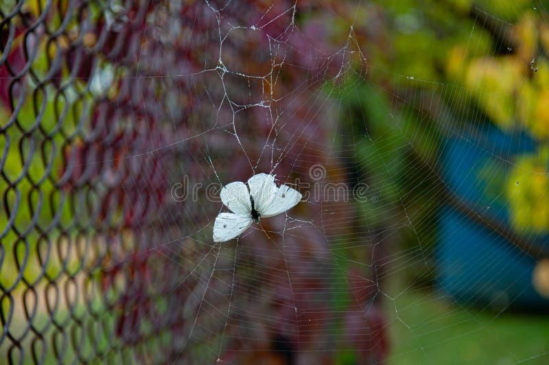 Piccola farfalla bianca che muore intrappolata nella tela di ragnatela su fondo sfuocato Fragilità concetto di vita e di morte So immagine stock libera da diritti