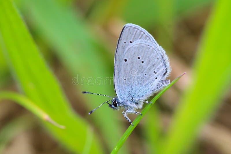 Piccola farfalla blu fotografie stock