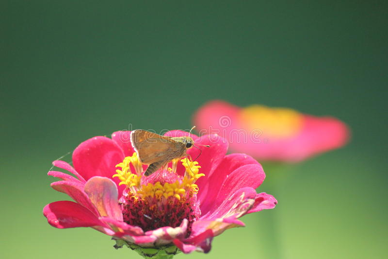 Piccola farfalla che si siede sul flowe rosa fotografia stock libera da diritti