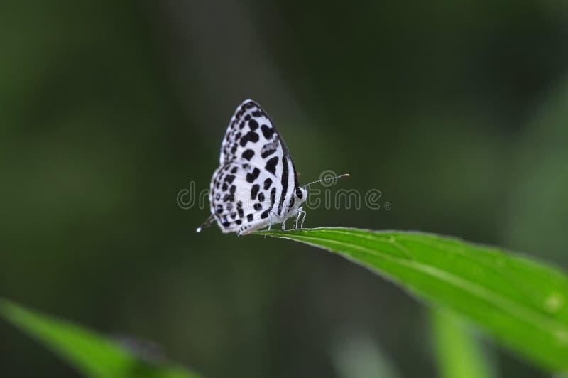 Piccola farfalla di pierrot comune fotografia stock