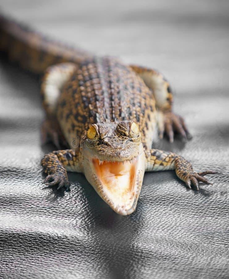 Piccola fine del coccodrillo su immagine stock libera da diritti