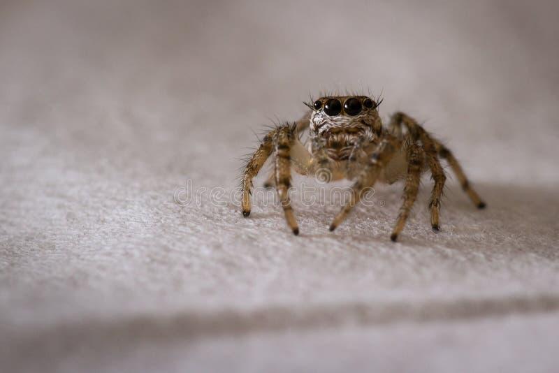 Piccola fine di salto del ragno su fotografia stock libera da diritti