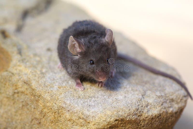 Piccola fine sveglia del mouse dell'animale domestico in su fotografia stock libera da diritti