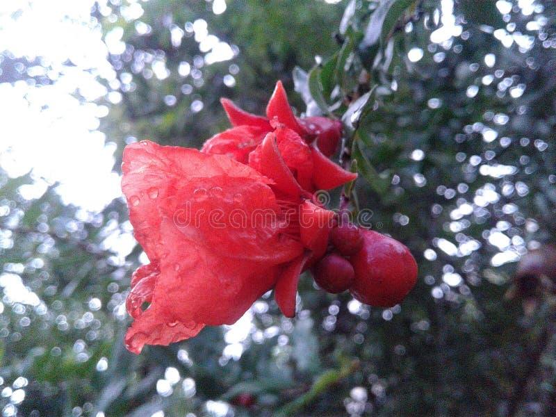 Piccola frutta rossa del fiore nella nostra casa fotografia stock libera da diritti