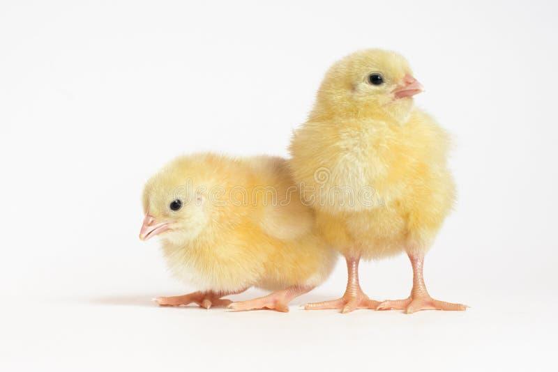 Piccola griglia del pollo due isolata su bianco immagini stock