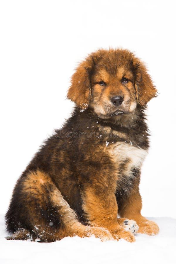 Piccola guardia giurata - cucciolo rosso del mastino tibetano fotografia stock