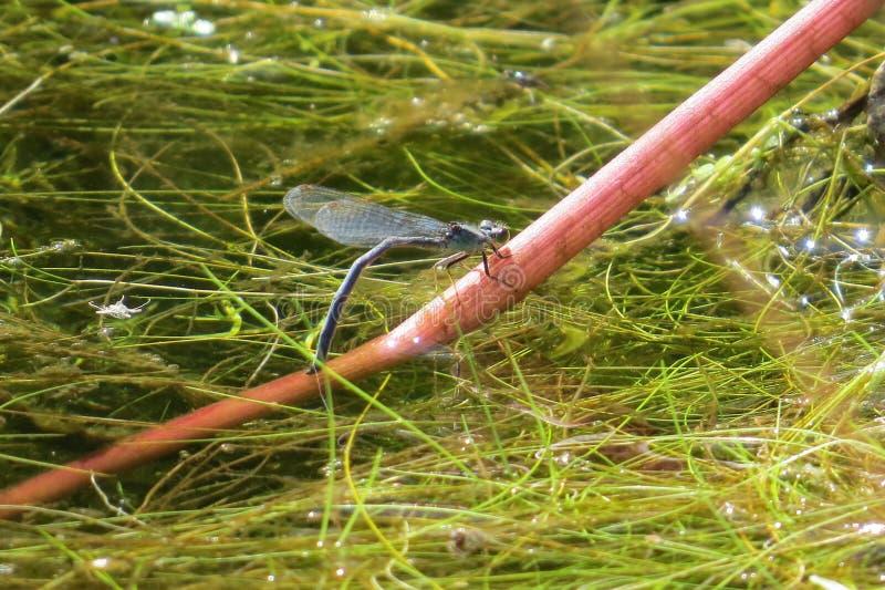Piccola libellula stupefacente del bleu su un ramo fotografia stock libera da diritti