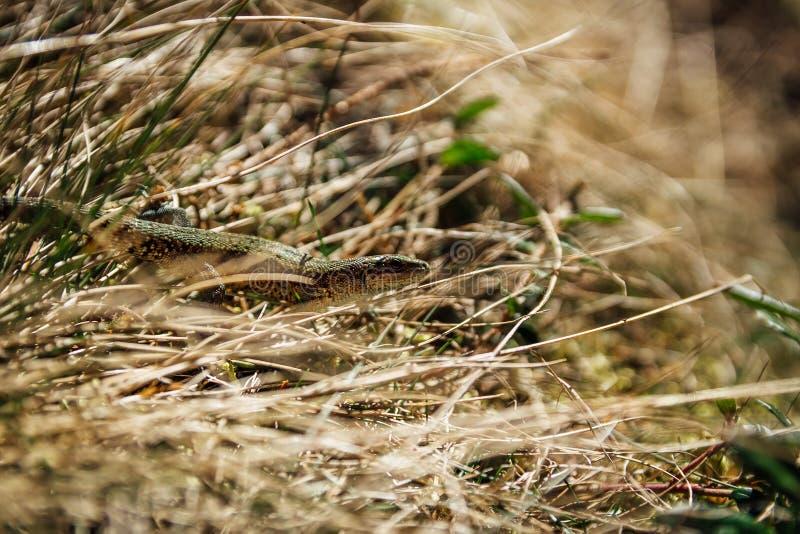Piccola piccola lucertola marrone in erba, repubblica Ceca fotografie stock libere da diritti