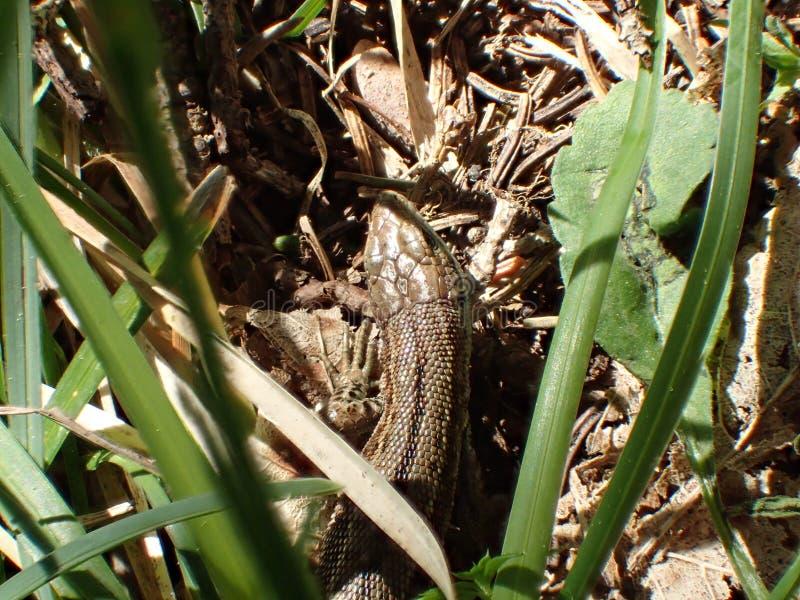 Piccola lucertola marrone nell'erba verde sulle montagne fotografia stock libera da diritti