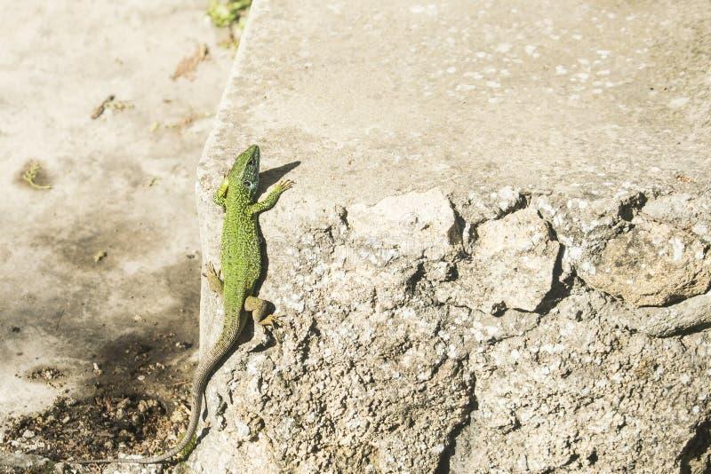 Piccola lucertola verde che prende il sole sulla scala fotografia stock