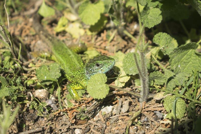Piccola lucertola verde nel giardino fotografia stock libera da diritti