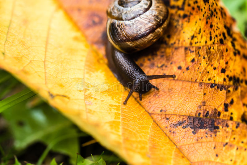 Piccola lumaca sveglia che striscia sulla foglia gialla di autunno fotografia stock libera da diritti
