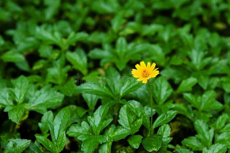 Piccola margherita gialla di Singapore - fine sul colpo del fiore fotografia stock