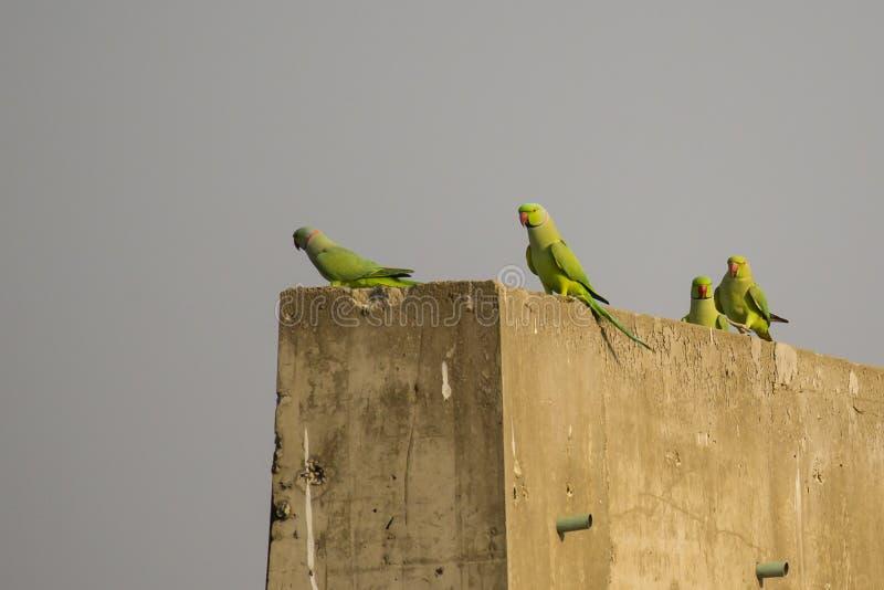Piccola moltitudine di Rose Ringed Parakeets immagine stock libera da diritti
