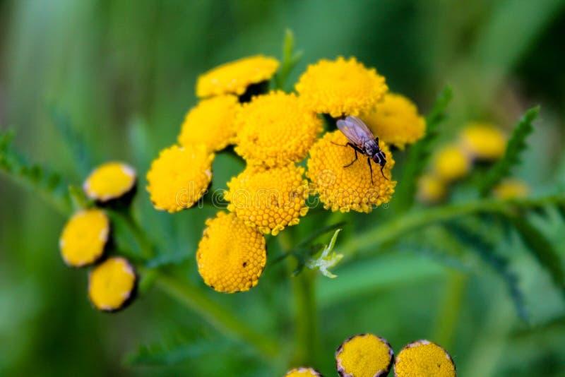 Piccola mosca che si siede sui fiori gialli del tanaceto fotografia stock