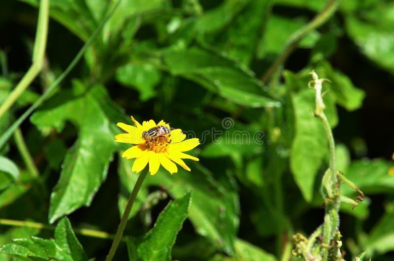 Piccola mosca del tipo di ape che raccoglie nettare e che impollina un wildflower giallo in Tailandia fotografia stock libera da diritti