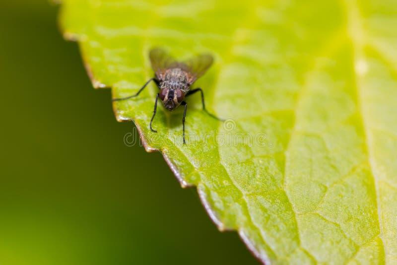 Piccola mosca dell'insetto sulla foglia verde fotografie stock libere da diritti