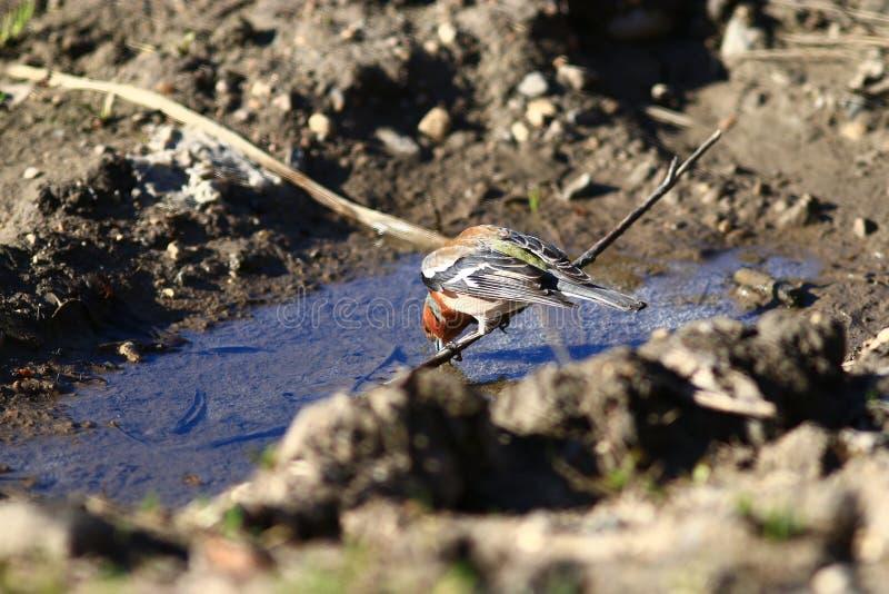 Piccola motacilla dell'uccello fotografie stock libere da diritti