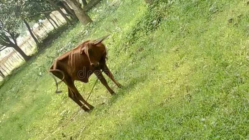 Piccola mucca immagini stock libere da diritti